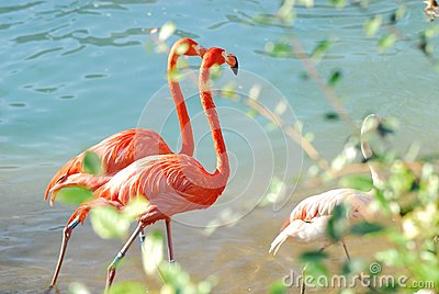 Flamingos walking two-by-two