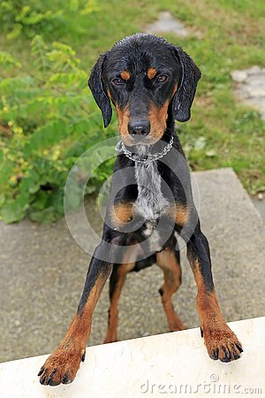 Free Flap-eared Black And Brown Hound Dog Royalty Free Stock Photography - 133487057