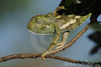 Flap-necked chameleon, Masai Mara, Kenya