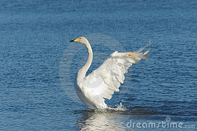 Flapping whooper swan