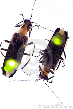 Flashing Fireflies - Lightning Bugs