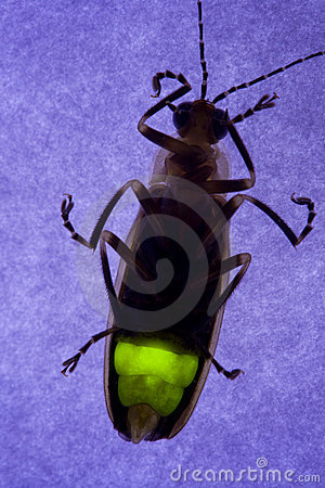 Flashing Firefly - Lightning Bug
