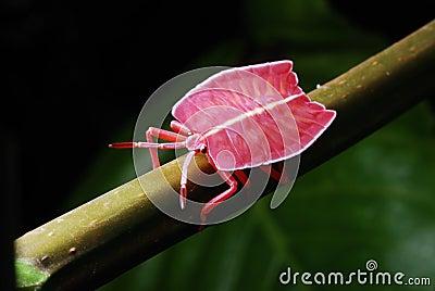 Flat Bodied Bug