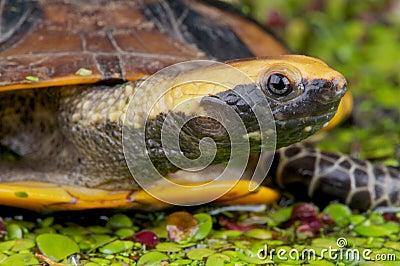Flat-headed turtle