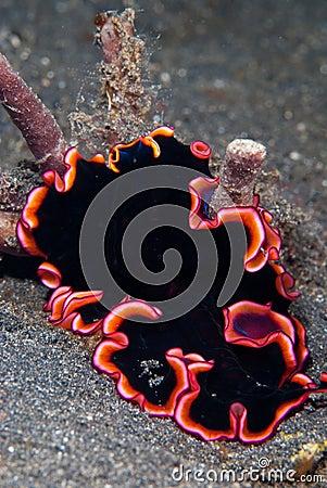 Free Flatworm Royalty Free Stock Photo - 21839925