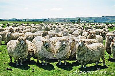 Flaumige Schafe