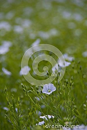 Flax flower,Linum perenne  Sapphire