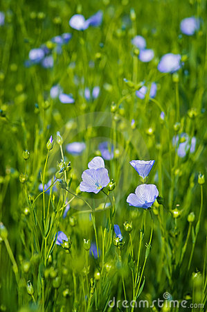 Flax flowers in the field.