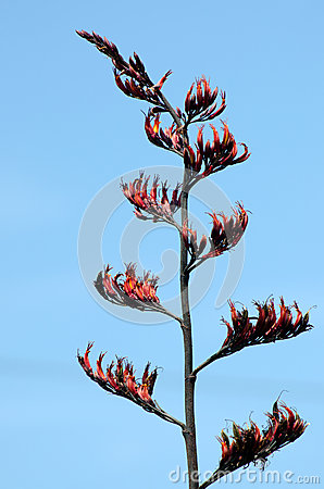 Flax plant flowering
