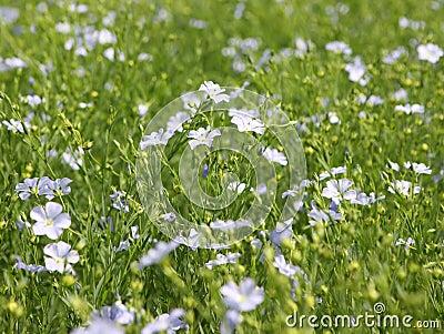 Flaxseed Crop (Linum usitatissimum)