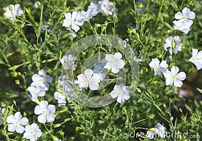 Flaxseedblommor (den Linum usitatissimumen).