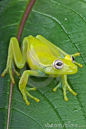 Free Fleischmann S Glass Frog Royalty Free Stock Photo - 19749105