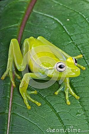 Fleischmann s glass frog