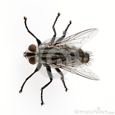 Free Flesh Fly Royalty Free Stock Photos - 26735028