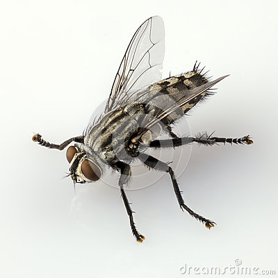 Free Flesh Fly Stock Photo - 26735050