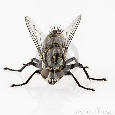 Free Flesh Fly Stock Image - 26735061