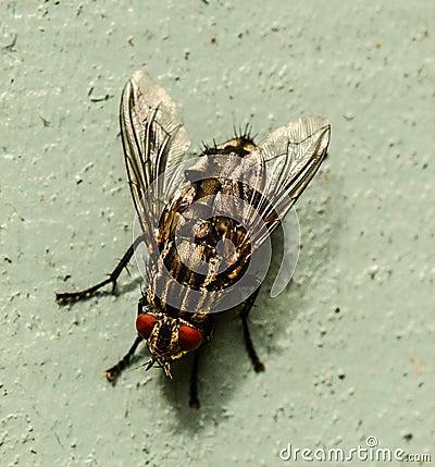 Free Flesh Fly Close-up Macro Image Royalty Free Stock Photos - 100395448