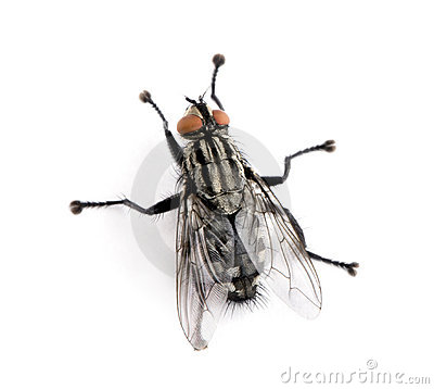 Free Flesh Fly In Front Of White Background Stock Photography - 11290882
