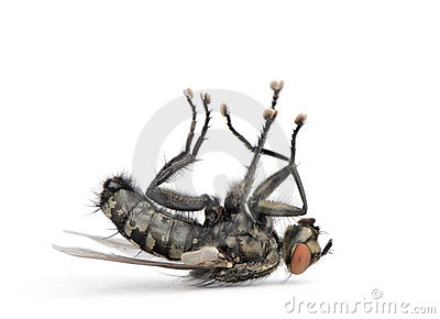 Flesh fly lying on back against white background