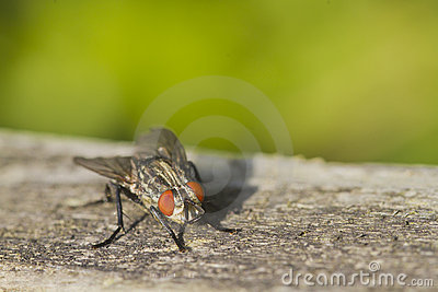 Flesh Fly (Sarcophaga bercaea)