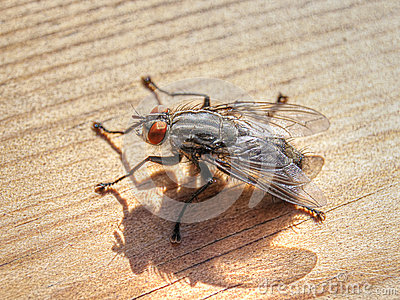 Flesh Fly (Sarcophaginae)