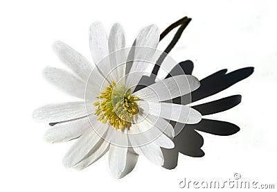 Fleur blanche d isolement