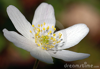 Fleur blanche II
