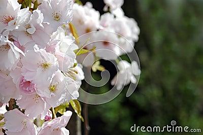 fleur d 39 arbre fruitier photo stock image 3918840. Black Bedroom Furniture Sets. Home Design Ideas