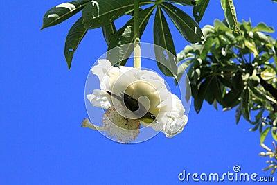 fleur de baobab photo stock image 49852998. Black Bedroom Furniture Sets. Home Design Ideas
