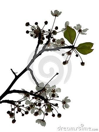 Fleur de cerise