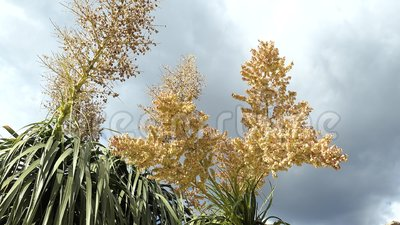 Fleur de fleur d'arbre de pied d'?l?phant clips vidéos