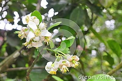 Fleur de pamplemousse au printemps au Vietnam