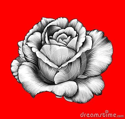 Fleur Dessin Au Crayon Illustration Stock Image 60776657