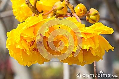 fleur jaune d 39 arbre de coton en soie photos stock image 37437963. Black Bedroom Furniture Sets. Home Design Ideas
