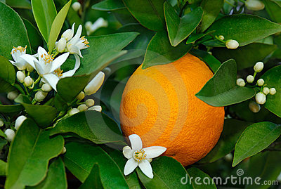 Fleur Orange Et Orange Images libres de droits - Image: 9722549
