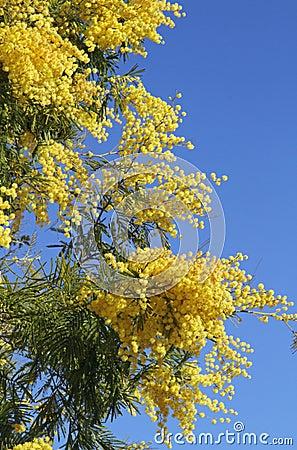 fleur parfum e jaune de mimosa image libre de droits image 38691406. Black Bedroom Furniture Sets. Home Design Ideas