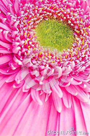 Fleur rose de gerbera