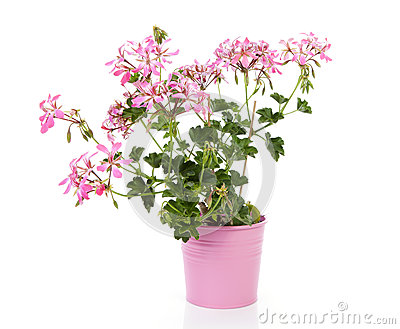 fleur rose de g ranium dans le pot photos libres de droits image 34924808. Black Bedroom Furniture Sets. Home Design Ideas
