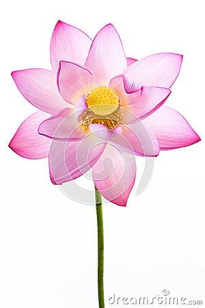 Fleur rose de lis d eau (lotus) et backgroun blanc
