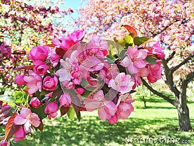 fleur rose de pommier photo stock image 54701629. Black Bedroom Furniture Sets. Home Design Ideas