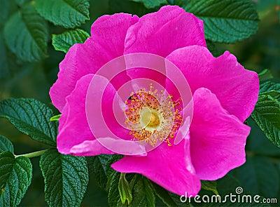 fleur rose sauvage photo stock image 9724640. Black Bedroom Furniture Sets. Home Design Ideas