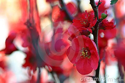 Fleur rouge de fleur