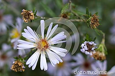 Fleurs éternelles d aster d automne.