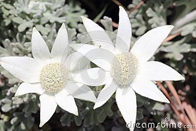 Fleurs blanches de flanelle
