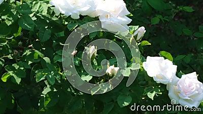 Fleurs blanches de roseraie