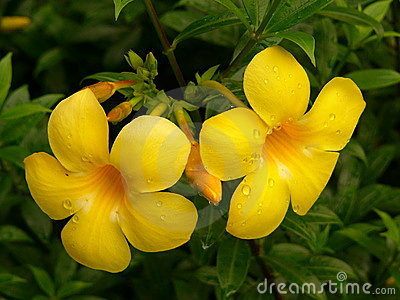 Fleurs d Alamanda
