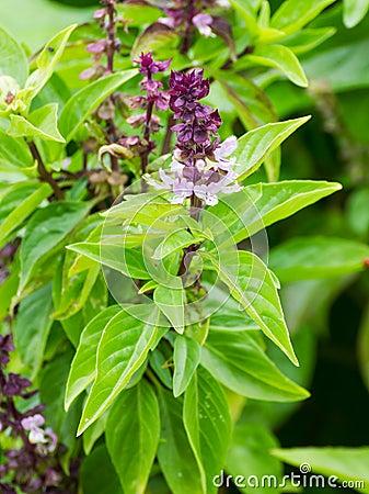 Fleurs de basilic dans le jardin images libres de droits for Fleurs dans le jardin