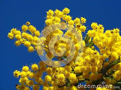 Fleurs de mimosa