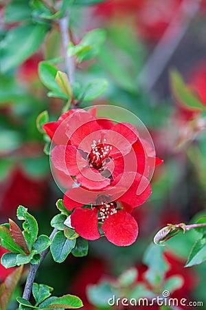 fleurs de ressort arbuste des fleurs rouges photo stock image 64684180. Black Bedroom Furniture Sets. Home Design Ideas