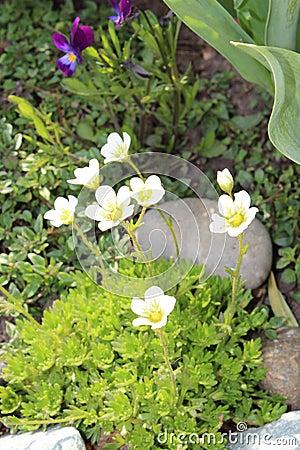 Fleurs de saxifrage dans le jardin photo stock image for Fleurs dans le jardin